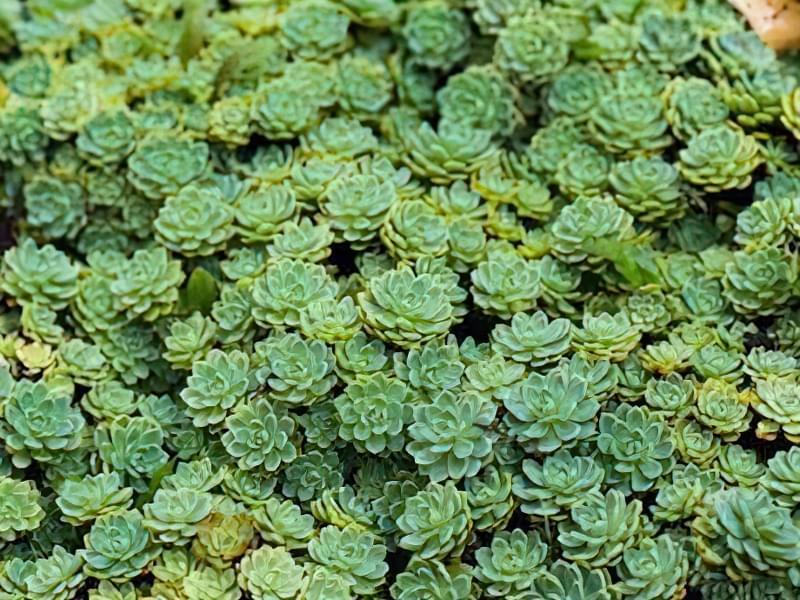 12 красивих і невибагливих рослин для саду 5