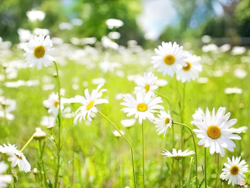 12 красивих і невибагливих рослин для саду 6