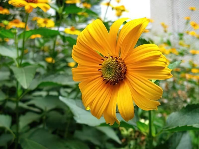 12 красивих і невибагливих рослин для саду 7