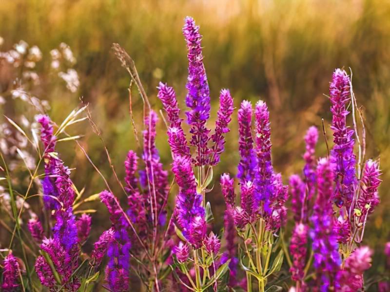 12 красивих і невибагливих рослин для саду 11