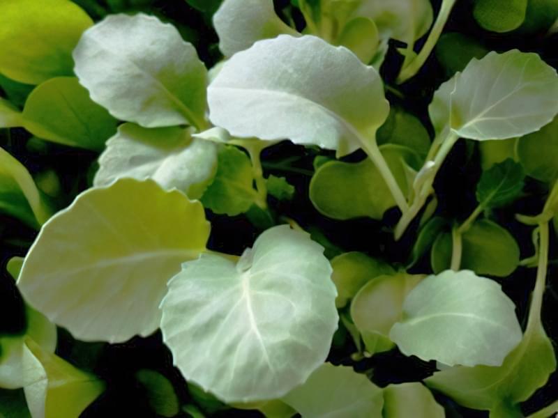 Вирощування розсади капусти білоголової 1