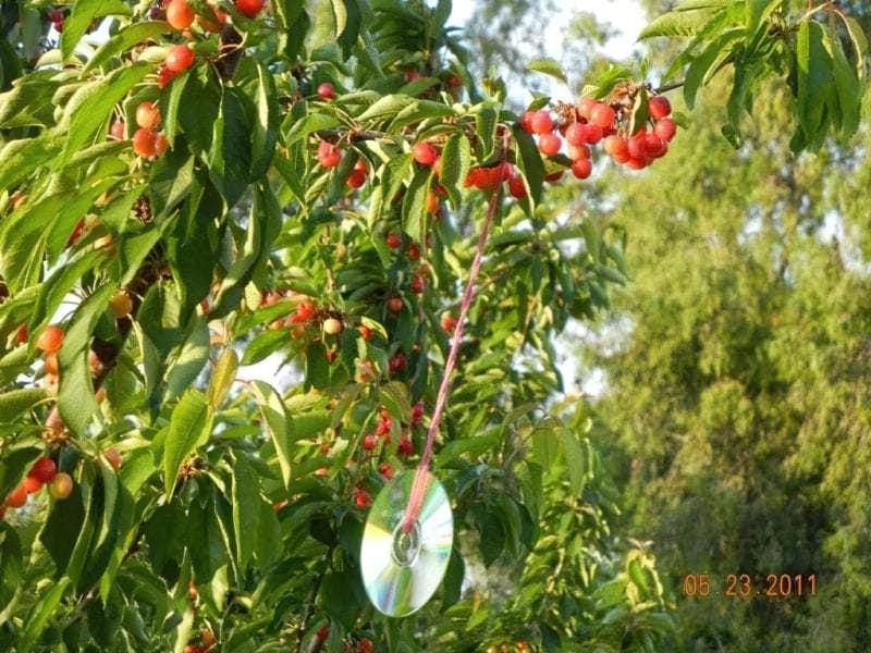 Як вберегти врожай в саду від птахів 2
