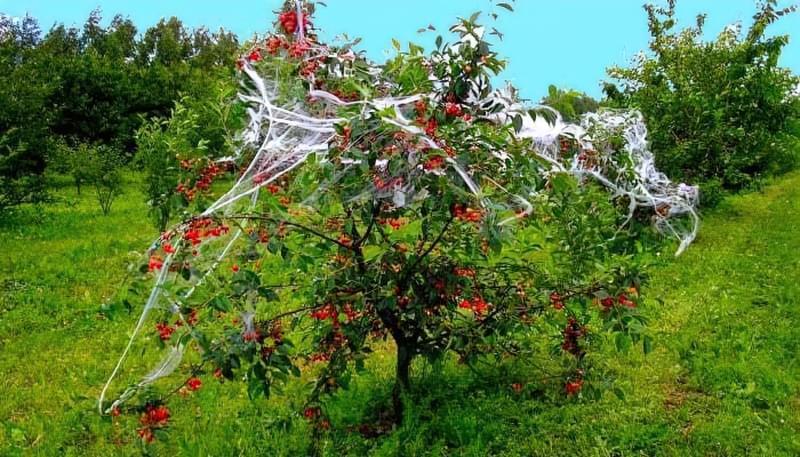 Як вберегти врожай в саду від птахів 1