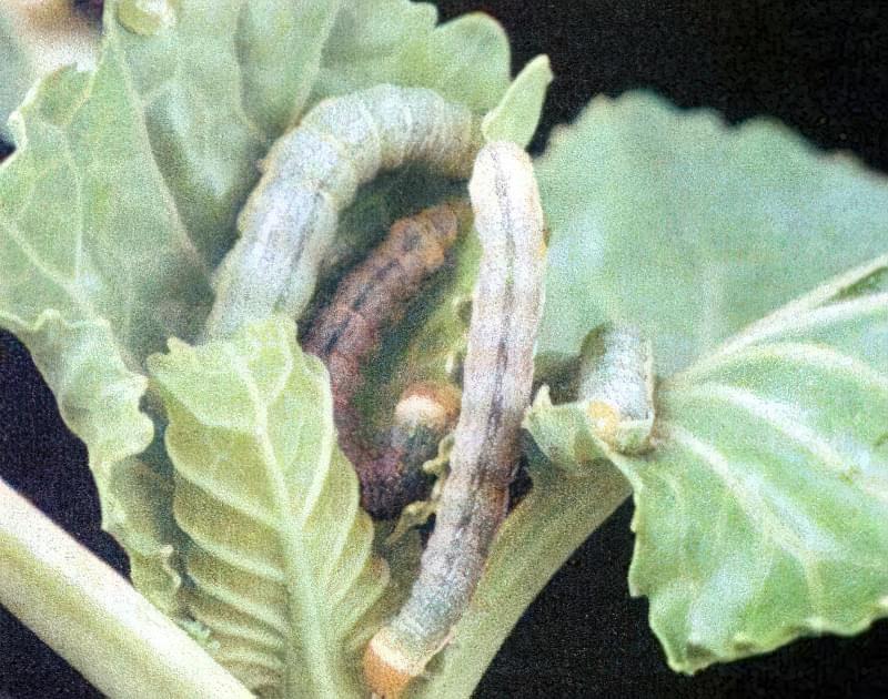 Як захистити капусту від шкідників? 2
