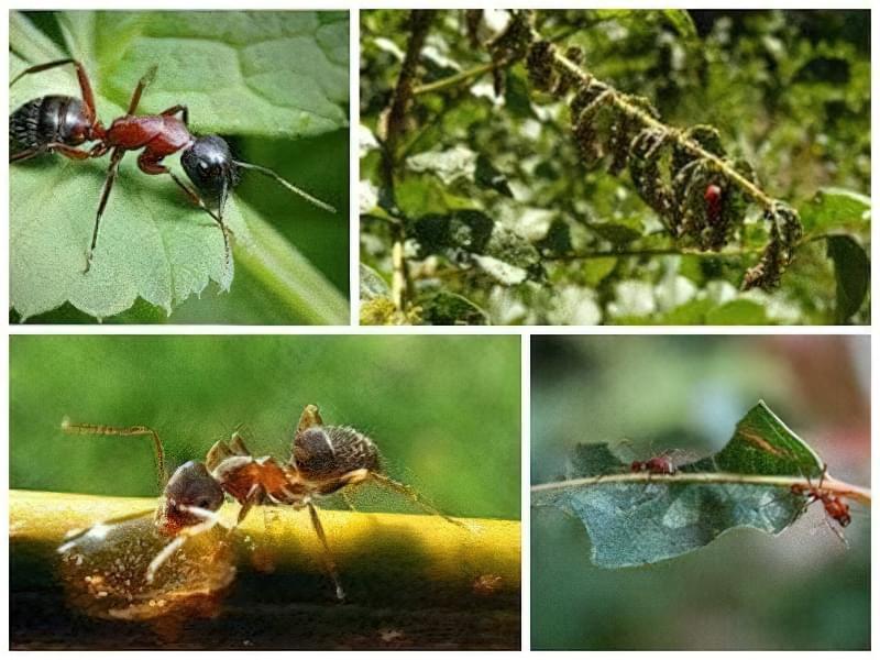 Народні засоби від мурах на ділянці 1