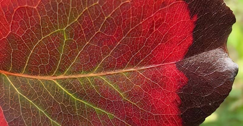 Чому червоніє листя груші 3