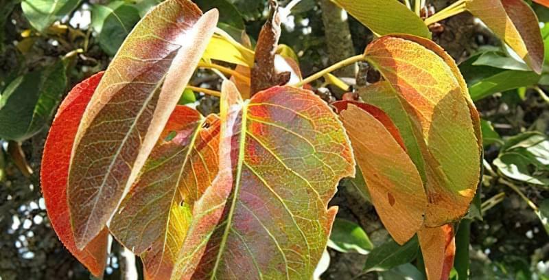 Чому червоніє листя груші 4