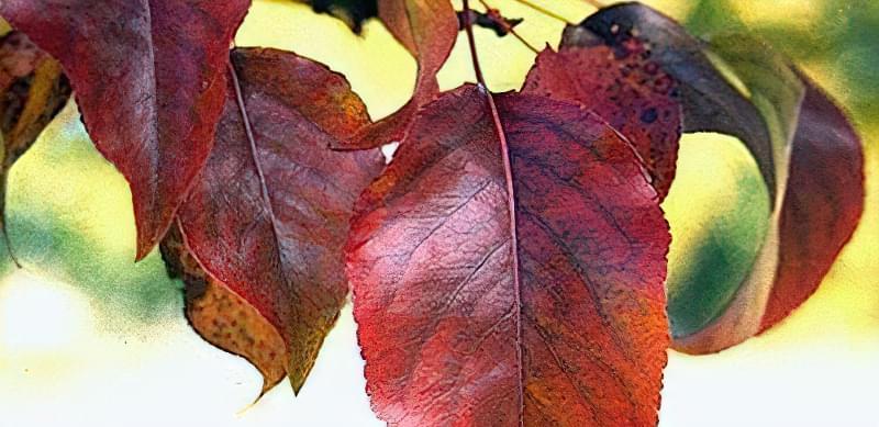 Чому червоніє листя груші 5