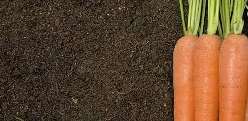 Чому морква крива і кострубата і як цього уникнути 1