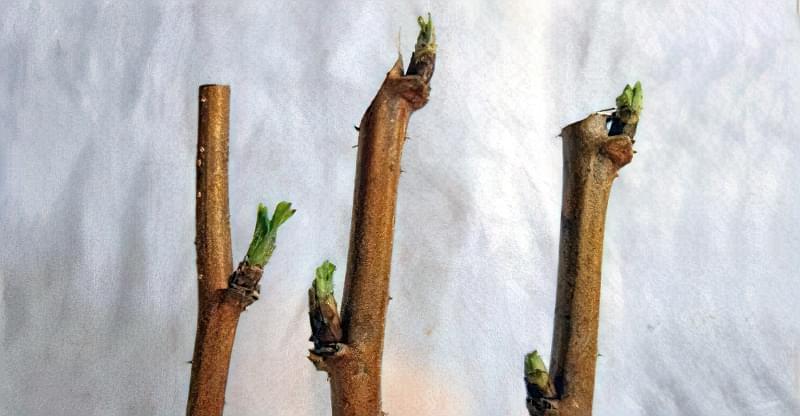 Обрізка малини навесні і восени: як правильно обрізати малину 1