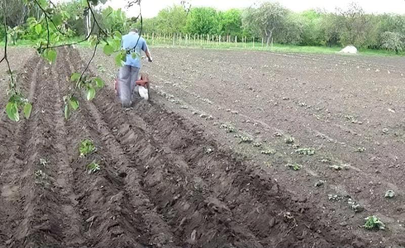 Підгортання картоплі мотоблоком: агротехнічне обгрунтування і нюанси процесу 1