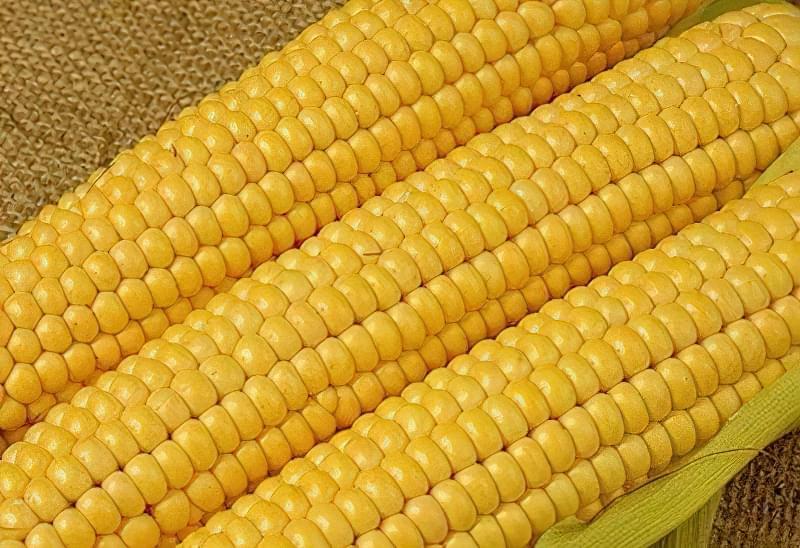 Цукрова кукурудза 2