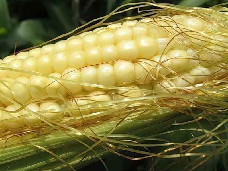 Цукрова кукурудза 1