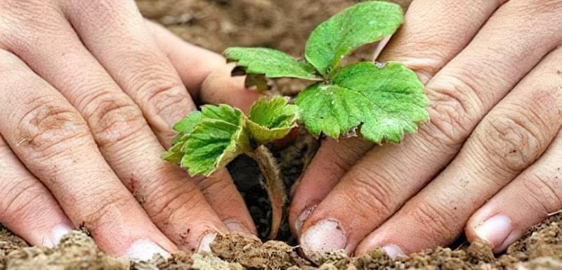 Вирощування полуниці: простий спосіб без хімії і зайвих зусиль 15