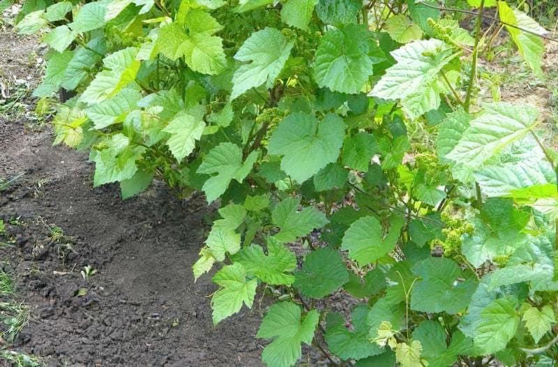 Вирощування винограду на дачній ділянці 1