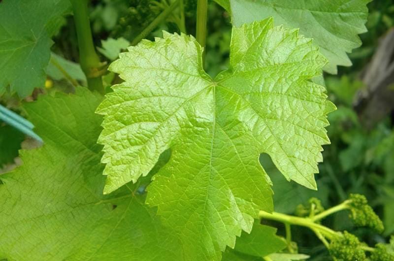 Вирощування винограду на дачній ділянці 2