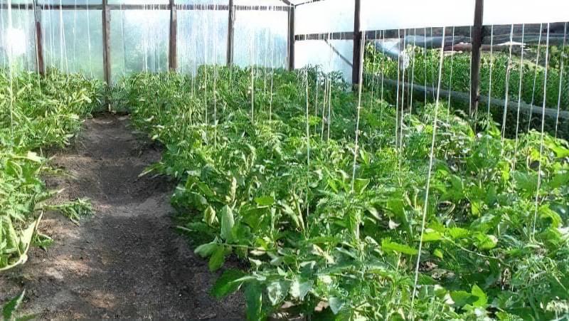 Яка потрібна підгодівля для томатів у теплиці під час цвітіння 1