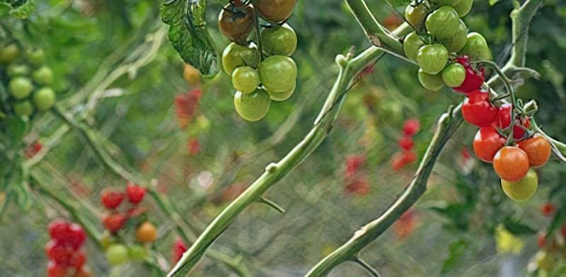 Десять міфів про вирощування томатів 28