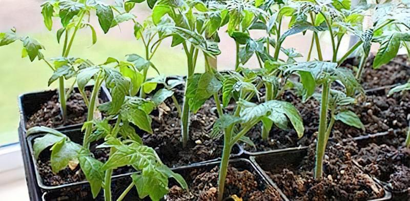 Десять міфів про вирощування томатів 1
