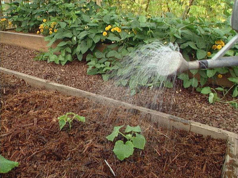 Чим потрібно полити огірки, щоб не жовтіло листя 2