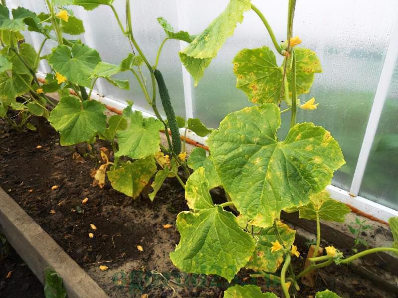 Чим потрібно полити огірки, щоб не жовтіло листя 3