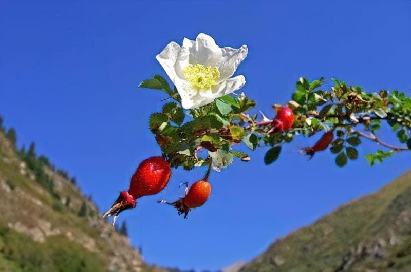 Найбільш часто троянду прищеплюють на шипшину