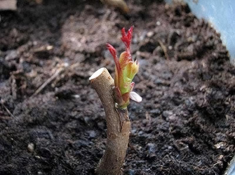 Троянди краще прищеплювати в кореневу шийку