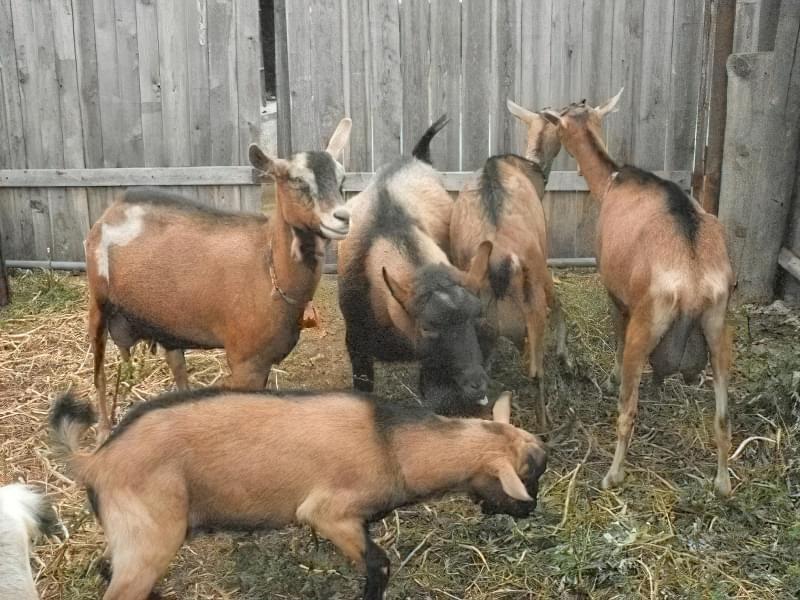 Кози чеської породи 2