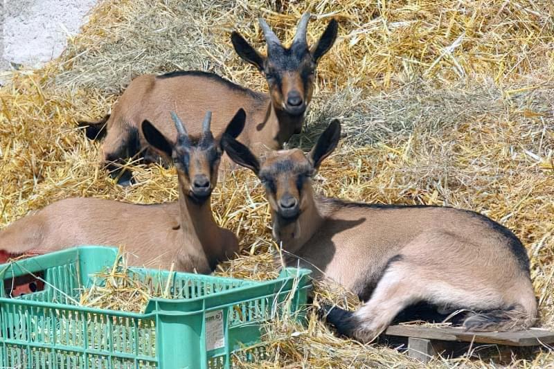 Кози чеської породи 3