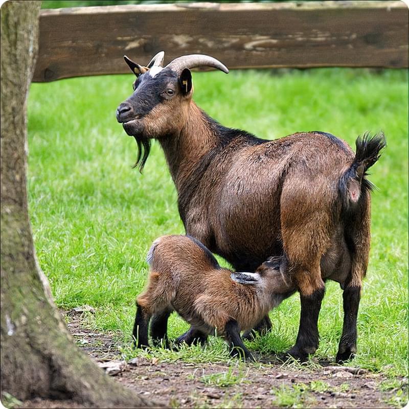 Кози чеської породи 4