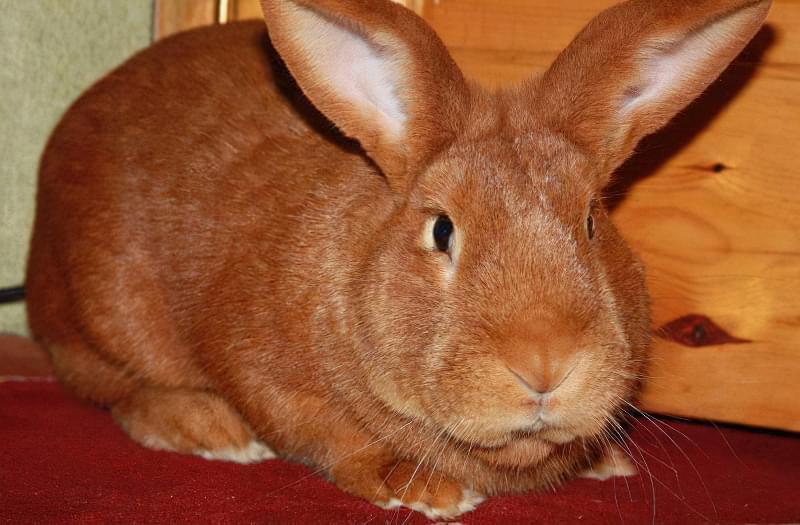 Кролики м'ясної бургундської породи 1