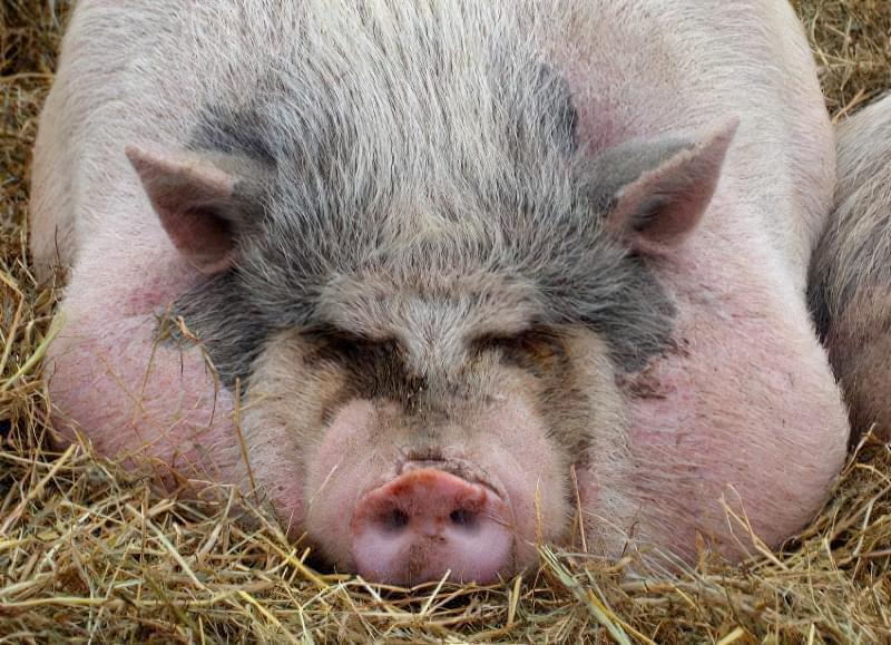 Про найбільш ефективні схеми відгодівлі свиней 3
