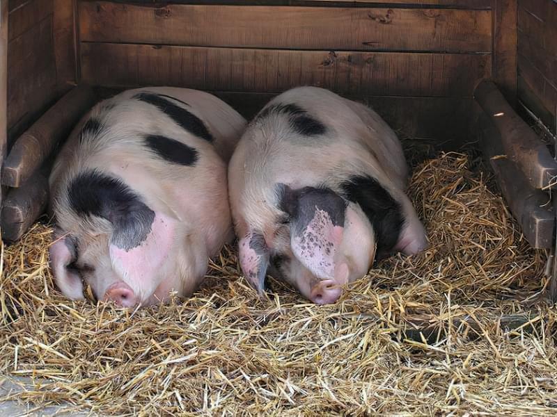 Сальна порода свиней