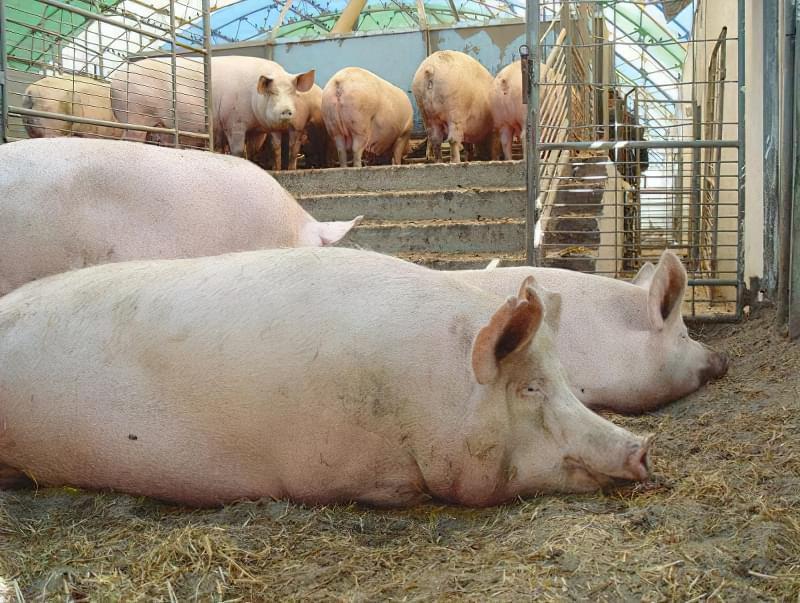 Про найбільш ефективні схеми відгодівлі свиней 1