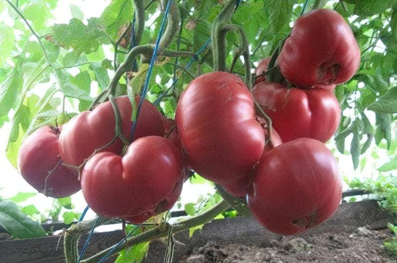 Сорт томатів Рожевий Мед: характеристика і опис 1