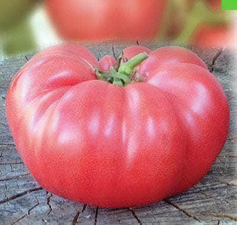 Сорт томатів Рожевий Слон: характеристика, опис, правила вирощування 1