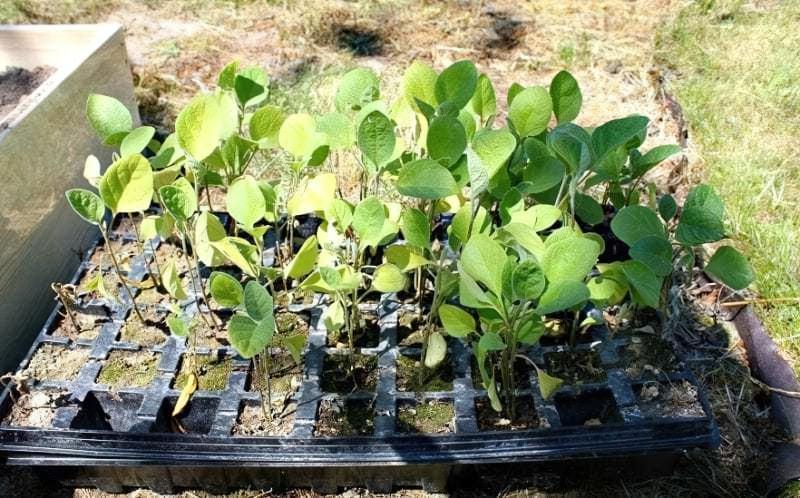 Вирощування баклажанів 1