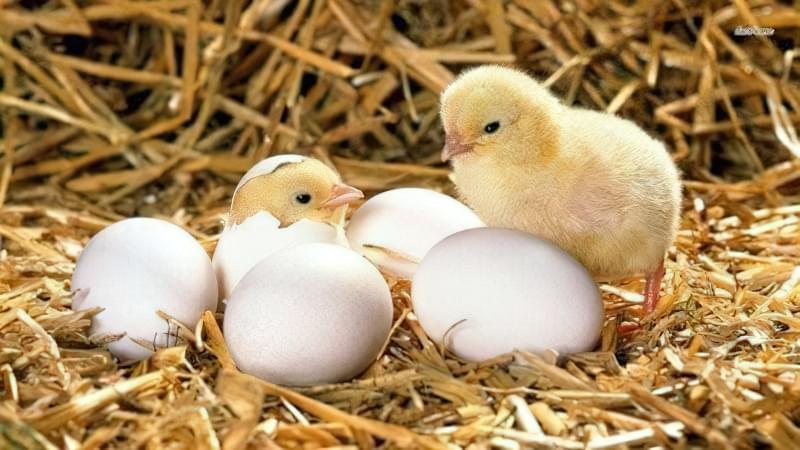 Як насильно посадити курку висиджувати яйця 1