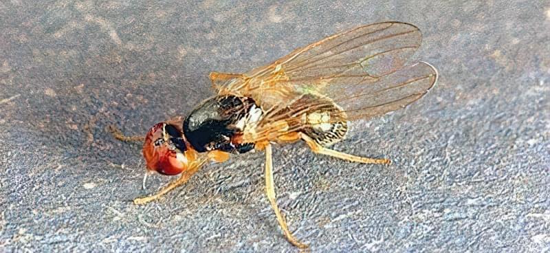 Як позбутися від морквяної мухи без хімії 1