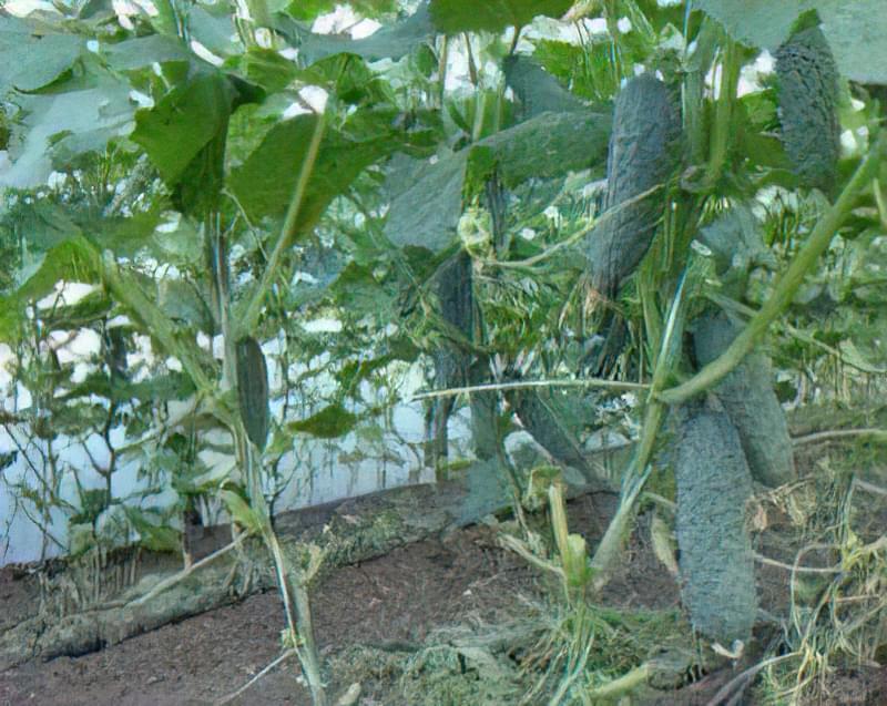 Огірки сорту Зозуля: характеристика і опис, вирощування 3