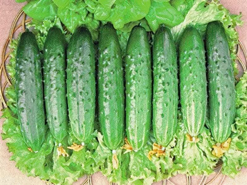Огірки сорту Зозуля: характеристика і опис, вирощування 1