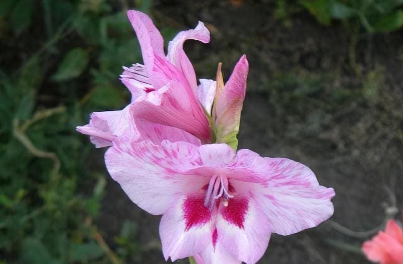 Букет до 1 вересня з дачних квітів 3