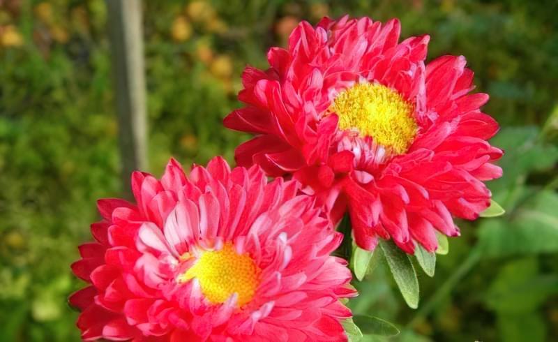 Букет до 1 вересня з дачних квітів 1