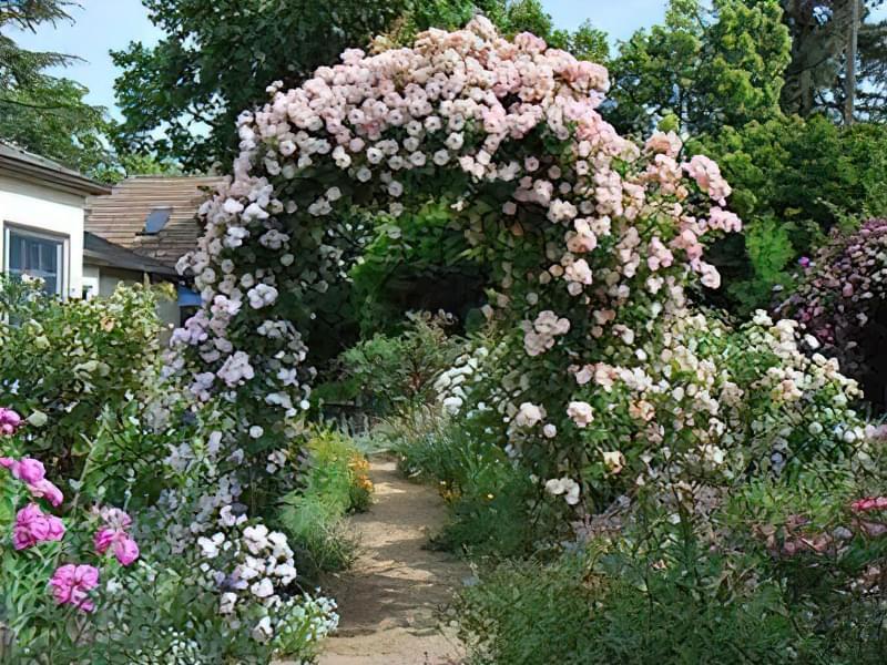 Рослини для квіткових арок 5