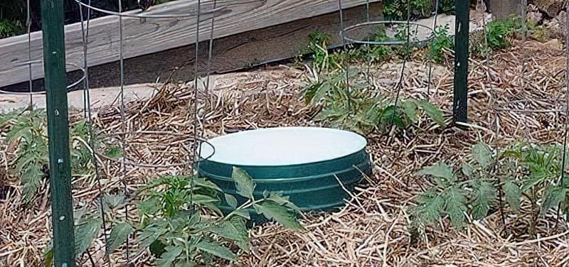 Як правильно поливати помідори 4