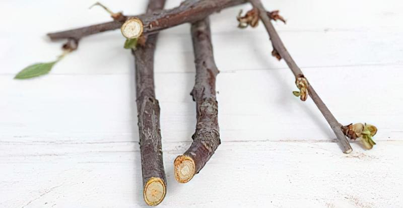 Чому сохне вишня після цвітіння: що робити і як врятувати дерево 2
