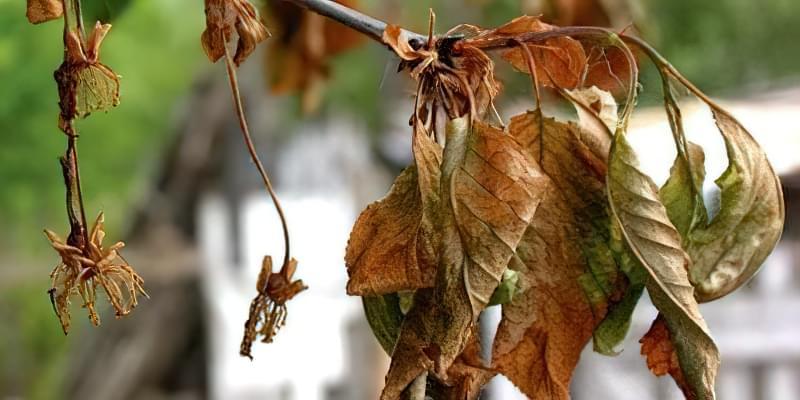 Чому сохне вишня після цвітіння: що робити і як врятувати дерево 59