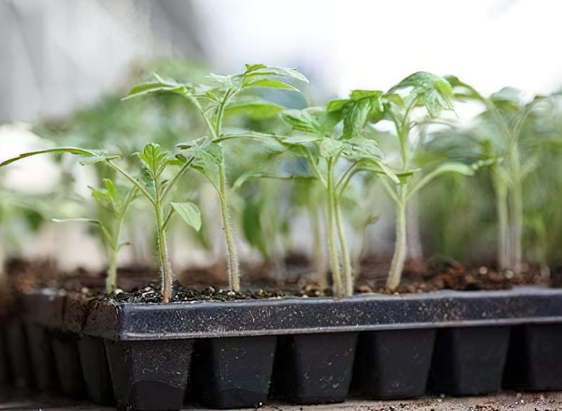 Як вирощувати міцну розсаду 2