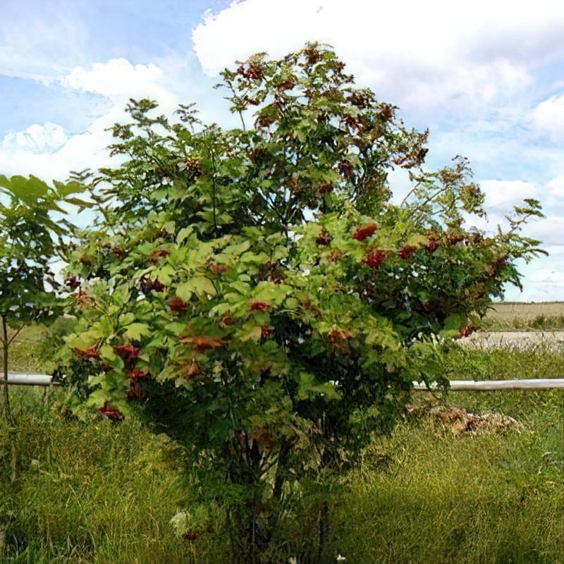 Калина: посадка та вирощування 2