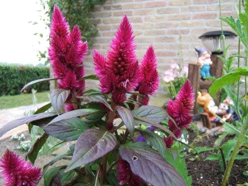 Амарант: опис видів та особливості вирощування рослини з насіння 3